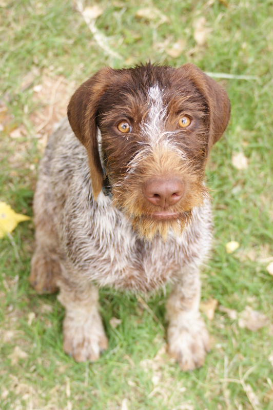 Sadie is a purebred German Wirehaired Pointer