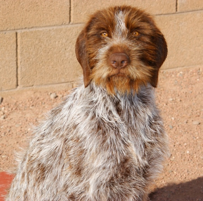 Mother - Wirehaired Pointing Griffon Hybrids